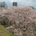 福岡城址の桜~3