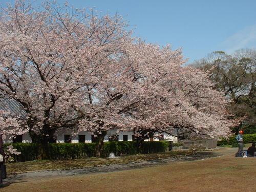 福岡城址の桜~4