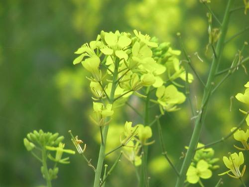 菜の花/クローズアップ